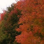 roadside fall maples red n green