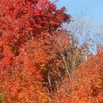 Fairport fall trees in orange n red